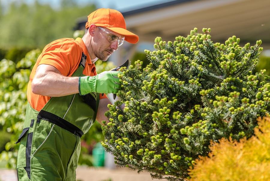 man trimming the shrubs